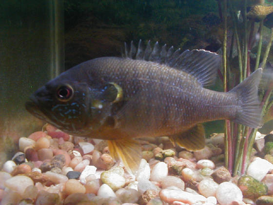 Photo album for Bluegill fish tank