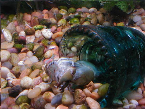 Tips on keeping sunfish and Bluegills in aquariums